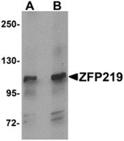 AP26118PU-N - ZNF219