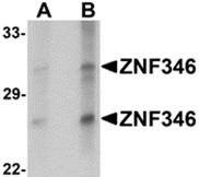 AP26105PU-N - ZNF346