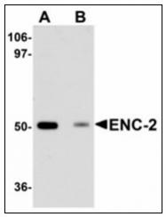 AP23955PU-N - Kelch-like protein 25