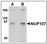 AP23855PU-N - NUP107
