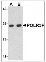 AP23856PU-N - POLR3F