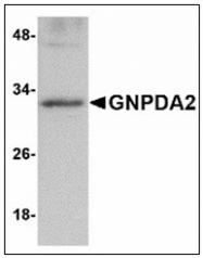 AP23863PU-N - GNPDA2
