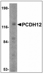 AP23866PU-N - Protocadherin-12 / PCDH12