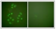 AP23897PU-N - CREB-binding protein