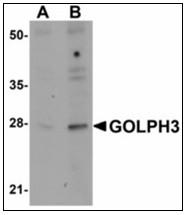 AP23909PU-N - Golgi phosphoprotein 3 / GOLPH3