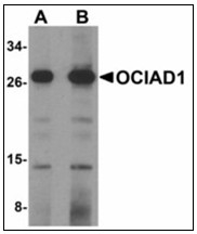 AP23911PU-N - OCIAD1 / OCIA