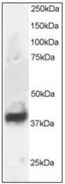 AP23814PU-N - Septin-3 (SEPT3)