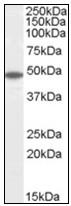 AP23815PU-N - Flotillin-2 / FLOT2