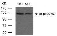 AP02562PU-S - NF-kB p105 / p50