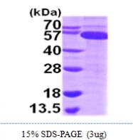 AR09784PU-L - Thioredoxin reductase 1 / TXNRD1