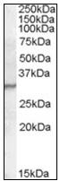 AP23831PU-N - PGLYRP1 / PGRPS