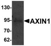 AP26283PU-N - Axin-1