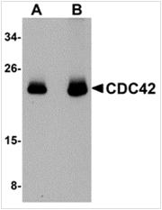 AP26195PU-N - CDC42