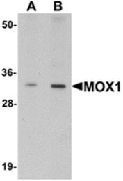 AP26278PU-N - MEOX1