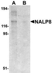 AP26265PU-N - NALP8