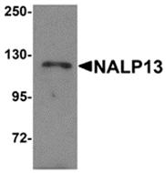 AP26269PU-N - NLRP13