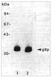 BM6049P - M13 Bacteriophage G8P Capsid