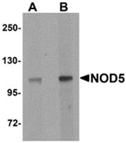 AP26259PU-N - NLRX1 / NOD9