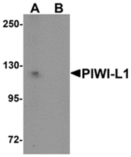 AP26292PU-N - PIWIL1