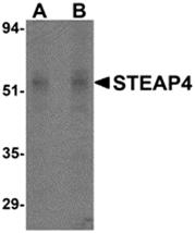 AP26183PU-N - STEAP4