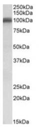 AP31107PU-N - Glutamate receptor 1 / GLUR1