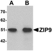AP26314PU-N - Zinc transporter ZIP9 / SLC39A9