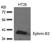 AP02708PU-S - Ephrin-B2