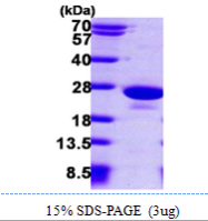 AR09802PU-L - PTP4A1 / PRL1