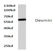 AP06608PU-N - Desmin