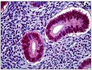 AM31005PU-N - Progesterone receptor