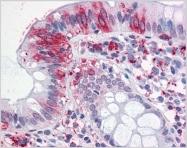 AP31146PU-N - Neuroplastin / SDFR1