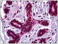 AM31090PU-N - STAG1 / Stromal antigen 1