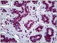 AM31091PU-N - STAG2 / Stromal antigen 2