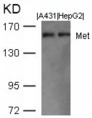 AP09516PU-N - HGF receptor
