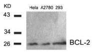 AP02600PU-S - Bcl-2