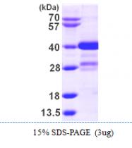 AR09846PU-L - Myeloid leukemia factor 1