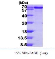 AR09855PU-L - B-cell linker protein / BLNK