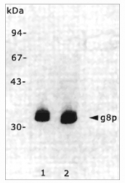 BM6050P - M13 Bacteriophage G8P Capsid