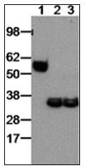 AM31375PU-N - EBI3 / IL27B