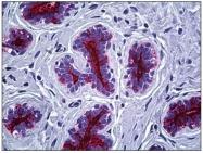 AM31368PU-N - CD227 / Mucin-1 / MUC1