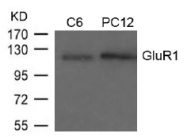 AP02755PU-S - Glutamate receptor 1 / GLUR1