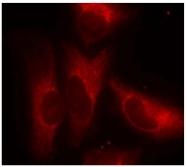 AP02457PU-S - 14-3-3 protein zeta/delta