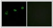 AP31165PU-N - Olfactory receptor 1N1