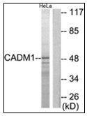 AP31166PU-N - CADM1 / SYNCAM