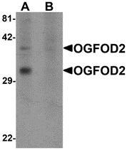 AP26100PU-N - OGFOD2