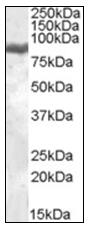 AP22512PU-N - Lactotransferrin