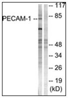 AP31323PU-N - CD31 / PECAM1