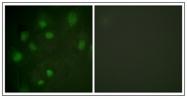 AP31326PU-N - CD222 / IGF2R