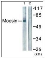 AP31328PU-N - Ezrin/Radixin/Moesin