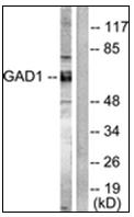 AP31343PU-N - GAD1 / GAD67